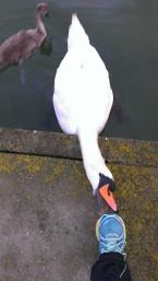 UCD swan